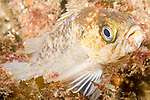 San Clemente Island, Channel Islands, California; a Kelp Rockfish (Sebastes atrovirens) rests on the rocky reef