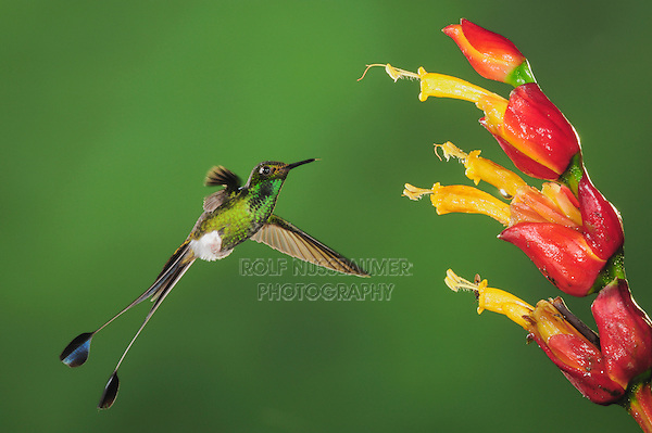 Booted Racket-tail (Ocreatus underwoodii), male feeding from Ginger flower,Mindo, Ecuador, Andes, South America