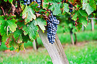 A bunch of grapes ripe merlot on a vine with leaves leaf in Bergerac, near Bordeaux Gironde Aquitaine France Europe