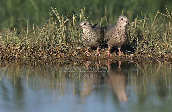 Common Ground-Dove, Columbina passerina, pair drinking, Starr County, Rio Grande Valley, Texas, USA