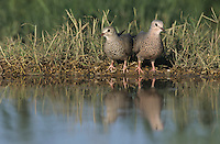 Common Ground-Dove, Columbina passerina, pair drinking, Starr County, Rio Grande Valley, Texas, USA