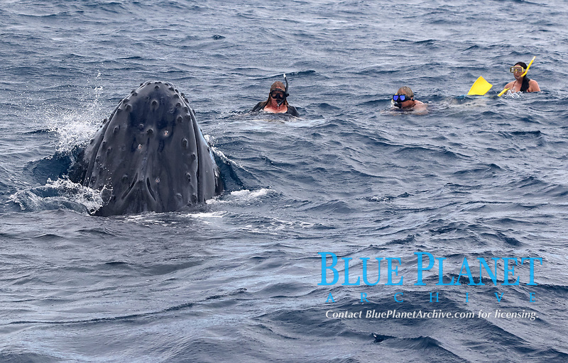 humpback whale, Megaptera novaeangliae, spyhopping, playing with swimmers, Kingdom of Tonga, South Pacific Ocean
