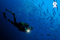 Diver shining torch nearby schooling barracudas (Licence this image exclusively with Getty: http://www.gettyimages.com/detail/84430601 )