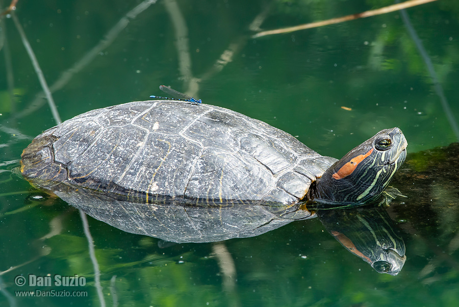 Red-eared Slider, Trachemys scripta elegans, basks on a floating branch in the Riparian Preserve at Water Ranch, Gilbert, Arizona. A damselfly (Zygoptera) rests on the turtle's back.
