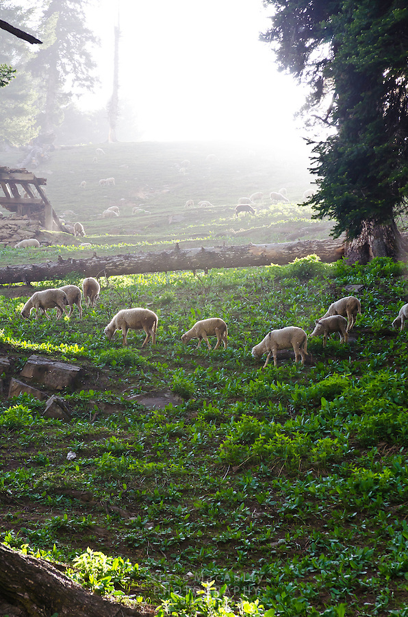 Sheep grazing on timbered, mountain slope, Western Himalayan Mountains, Kashmir, India..
