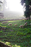 Sheep grazing on timbered, mountain slope, Western Himalayan Mountains, Kashmir, India..