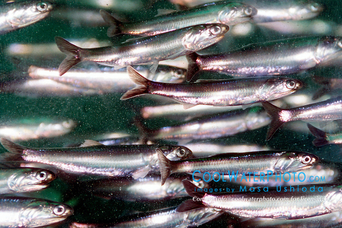 northern anchovy (c), .Engraulis mordax, .California (E. Pacific).