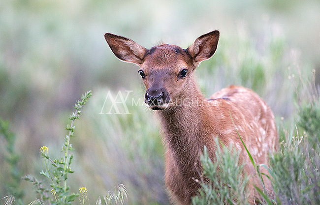 Elk calves are born starting in late May in Yellowstone.