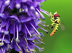 A sweat bee gathers pollen from a veronica blossom at The Gardeners of America/Men's Garden Clubs of America national headquarters garden in Johnston, Iowa.