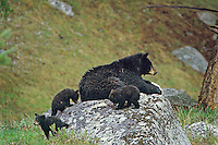 BLACK BEAR (Ursus americanus) mother with young cubs.  Western U.S., May.