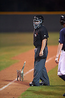 Umpire J.C. Velez looks for some assistance in getting a cat off the field during a Lakeland Flying Tigers game against the Jupiter Hammerheads on March 14, 2016 at Henley Field in Lakeland, Florida.  The cat, named Henley the Eighth, resides at the stadium.  Lakeland defeated Jupiter 5-0.  (Mike Janes/Four Seam Images)