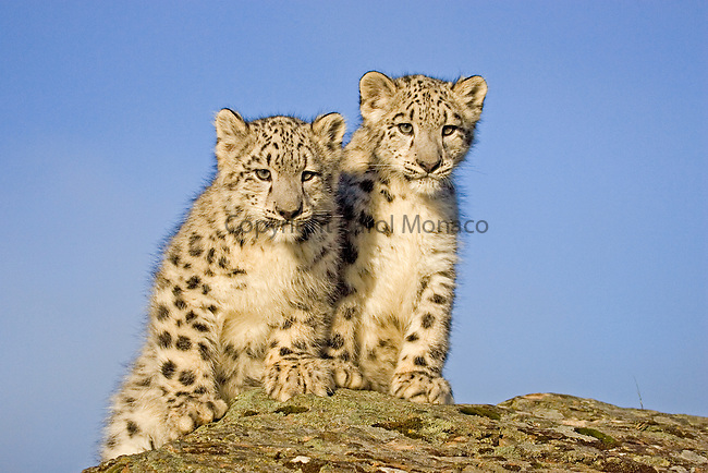 Two endangered snow leopard cubs (siblings) on a rock, against a blue sky.