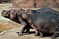 Common Hippopotamus (Hippopotamus amphibius) couple being friendly.  Zoo..