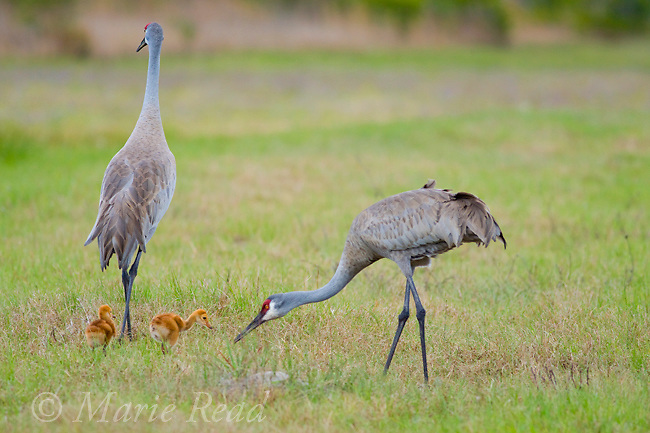 Sandhill Crane (Grus canadensis), Florida race, two adults with two chicks, Orlando, Florida, USA