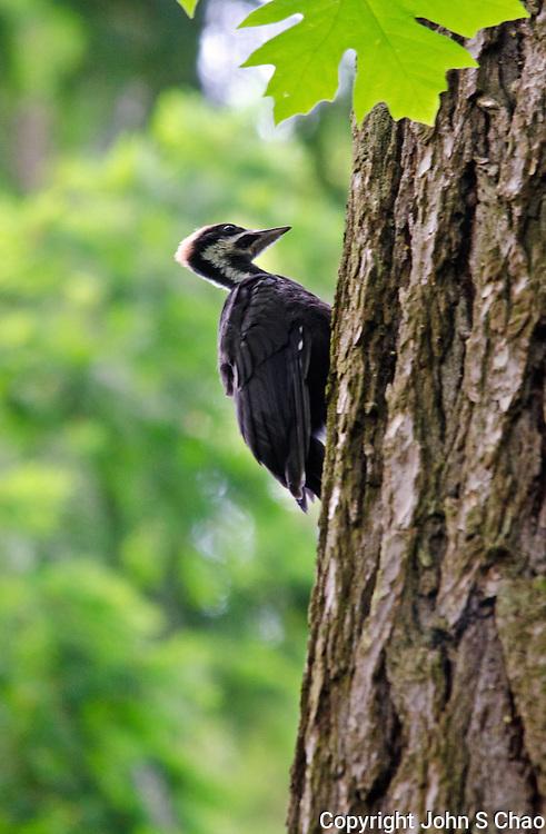 Juvenile pileated woodpecker foraging, Weowna Park, Bellevue, Washington