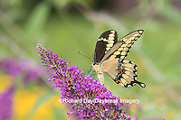 03017-01112 Giant Swallowtail butterfly (Papilio cresphontes) on Butterfly Bush (Buddlei davidii),  Marion Co., IL