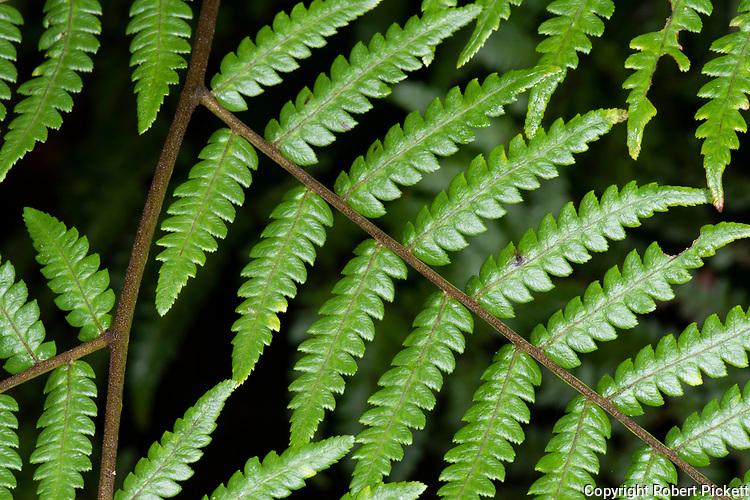 Close up of Fern Leaves, Sinharaja World Heritage Site, Sri Lanka,
