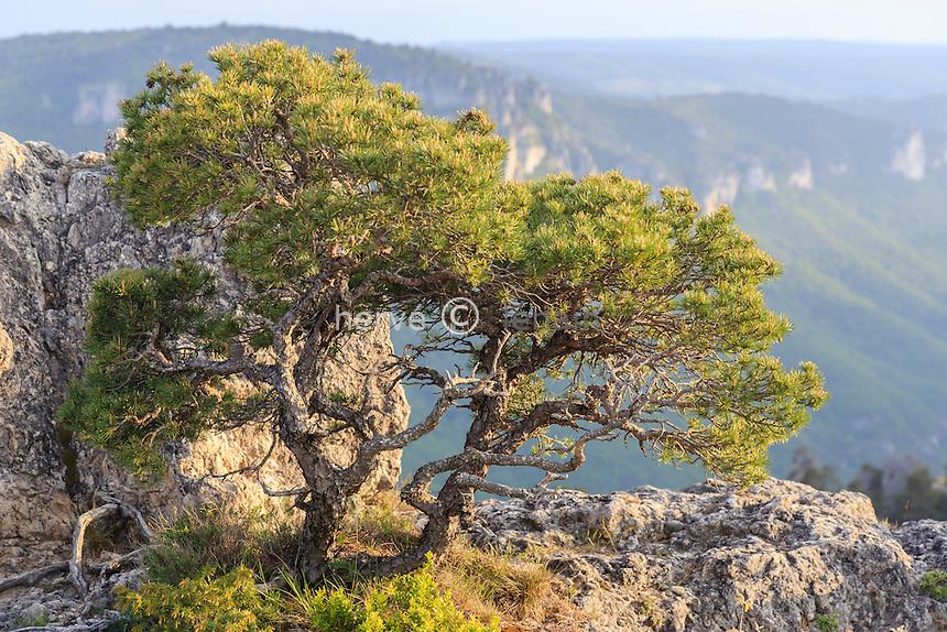 France, la Roque-Sainte-Marguerite, chaos de Montpellier-le-Vieux // France, Aveyron (12), la Roque-Sainte-Marguerite, chaos de Montpellier-le-Vieux, pin sylvestre tortueux au sommet du Douminal