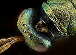 """Extreme close-up photos reveal the bizarre alien-like bodies of tiny insects which are no larger than a piece of rice.<br /> <br /> Seen in such detail, the creatures' huge eyes and hair-covered legs can make them look like nightmarish monsters.<br /> <br /> The vibrant colours, and armour-plated skins of the flies and weevils in these macro photos are rarely seen in such detail.<br /> <br /> Javier Ruperez,  who is a specialist in 'extreme macro' photography, said: """"It is a technique that allows us to view an unknown world that we live amongst every day.<br /> <br /> Please byline:  Javier Ruperez/Solent News<br /> <br /> ©  Javier Ruperez/Solent News & Photo Agency<br /> UK +44 (0) 2380 458800"""