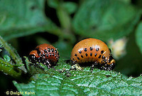 1C28-067z   Colorado Potato Beetle - larvae - Leptinotarsa decemlineata