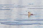 Polar Bear, Spitsbergen, Svalbard, Norway, Europe