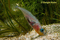 1S22-584z  Male Threespine Stickleback shaping nest by pushing plant materials with it mouth, mating colors showing bright red belly and blue eyes,  Gasterosteus aculeatus,  Hotel Lake British Columbia