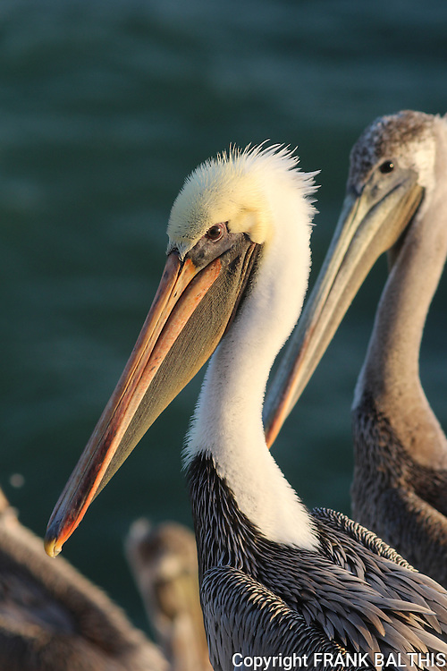 Brown pelicans in California