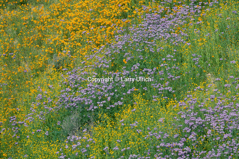 Tansyleaf phacelia, monolopia<br />