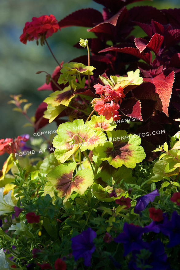 A detail of a vibrant, colorful container raised high on a pole and holding this planting of mixed summer annuals featuring the distinctive rings of the zonal geranium (Pelargonium) 'Indian Dunes',  the deep red foliage of the tall coleus behind, and white and purple petunias trailing beneath.