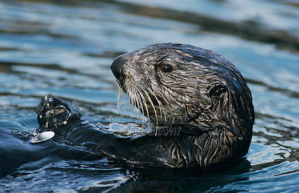 Sea Otter, Enhydra lutris, adult eating Shells, Seward, Alaska, USA