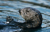 Sea Otter, Enhydra lutris, adult eating Shells, Seward, Alaska, USA