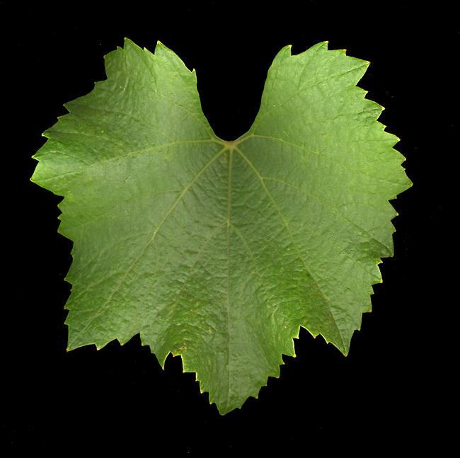 Chardonnay leaf