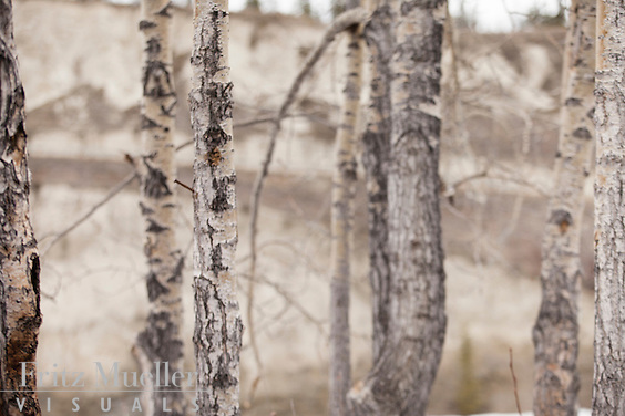 Birch forest near the Yukon River