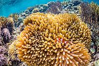 False clown anemonefish, Amphiprion ocellaris, Sebayur Island, Komodo National Park, Indonesia