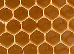 Close up of eggs laid in cells of honecomb of hive, Honey Bee, Apis mellifera, Kent UK