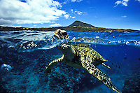 "Green Sea Turtles, also known as """"Honu"""" are commonly seen in Hawaii's warm ocean waters."