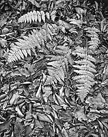 Cinnamon Ferns spread out of a bed of autumn leaves on the forest floor at Warren Woods State Park in Berrien County, Michigan