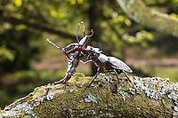 Hirschkäfer, kämpfende Männchen, Kampf, Hornschröter, Hirsch-Käfer, Lucanus cervus, Stag beetle, male, fighting, fight, Schröter, Lucanidae, Stag beetles