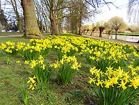 MAR 16 Daffodils at Bedford Embankment
