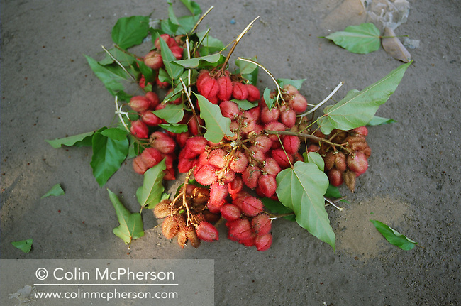 """A bunch of freshly-picked urucum (which means """"red"""" in a local indian language) lying beneath a tree. The seeds were ground into a red powder and used as a colouring and to add a light spicy taste in cooking dishes such as fish soup. It was also used as make-up, a sun protection and as an antidode against manioc-poisioning. Villagers along the Tapajos river lived from fruit and vegetable harvested from the rainforest but suffered the effects of deforestation  as the rainforest was cleared by illegal logging and burning for cattle ranching and growing soy beans for export."""