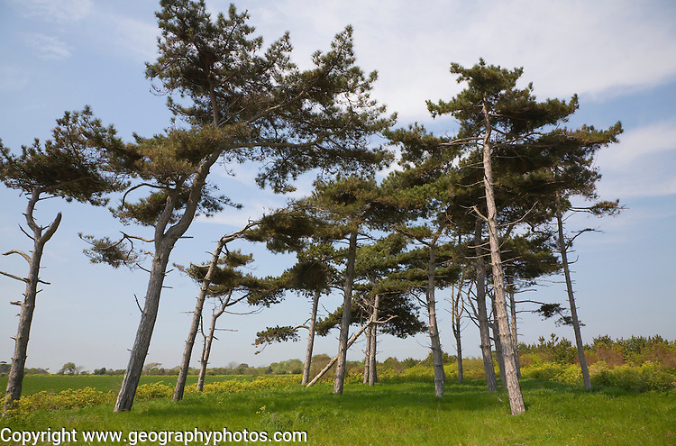 Low angle view of a clump of Scots Pine trees, Bawdsey, Suffolk, England