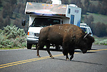 """Bison Jam""  in Yellowstone National Park,"