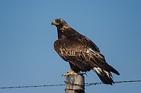 Golden Eagle, Colorado roadside