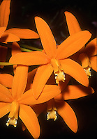 Laelia harpophylla, orchid species native to Brazil, orange flowers. aka Cattleya harpophylla, against black background