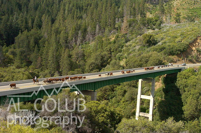 Buck Meadows, California June 9, 2005.Erickson Cattle Company drive cattle on the Highway 120 Bridge over the South Fork of the Tuolumne River...Al GOLUB/Golub Photography.