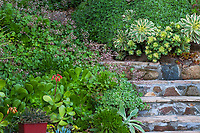Stone steps through Debra Lee Baldwin Southern California succulent hillside garden with Aeonium haworthia groundcover shrub with Aeonium 'Sunburst' (lrg. rosettes) and Aeonium 'Kiwi' (sm. rosettes) in center. Crassula multicava in bloom, various Aeoniums in lower left