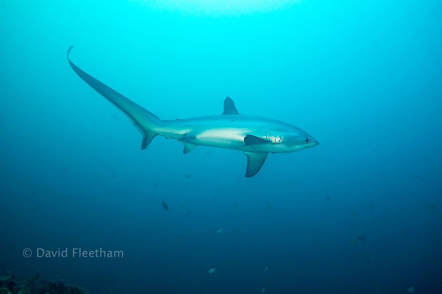 There are three species of thresher sharks all characterized by the unmistakably elongated upper lobes of their tail fin. This one, the pelagic thresher shark, Alopias pelagicus, comes to Monad Shoal off Malapascua Island in the Philippines to visit cleaning stations on the reef.