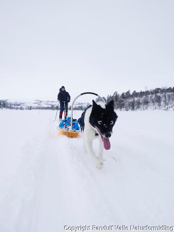 Mann går på ski med pulk og grønlandshund i nærheten av Skoganvarre. ----- Man skiing with greenland dog.