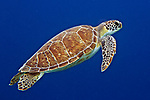 Chelonia mydas, Green sea turtle, Bonaire