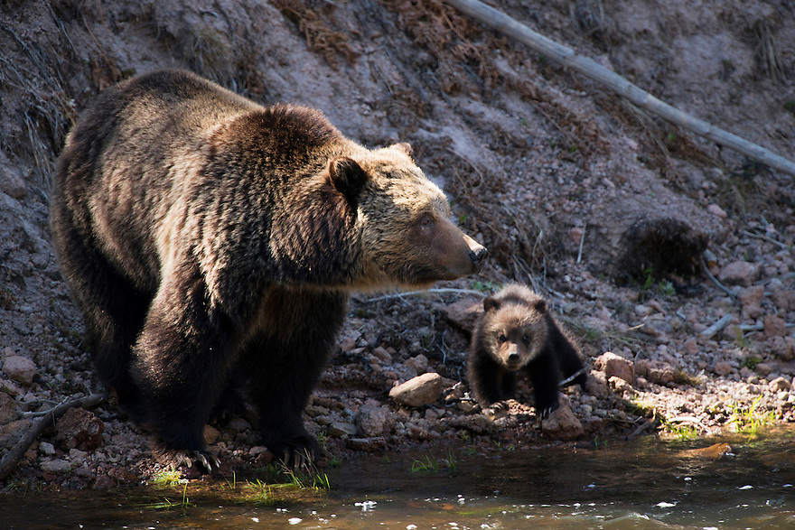 A sow grizzly bear and her cubs forage along the Gibbon River in Yellowstone National Park.